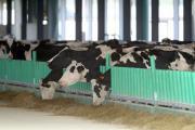 4487250 7 4891 les vaches fraichement debarquees a la 939d1177f032987b05e86c1105dd086e