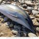 Vendée. Une cinquantaine de dauphins retrouvés morts sur les plages en moins d'une semaine