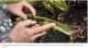 Une plante tueuse de frelons asiatiques découverte à Nantes