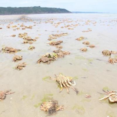 Des centaines d araigne es envahissent une plage